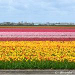 チューリップ咲き誇るキューケンホフ公園|オランダ アムステルダム・ライデン観光 (2)